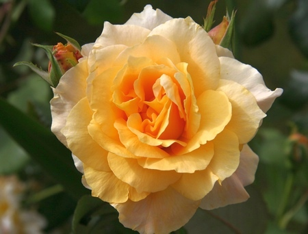 Meraner Rose