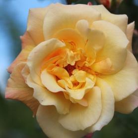 Rosarium VIII