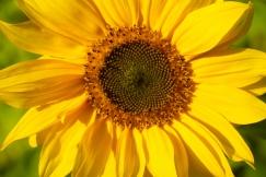 Sonnenblumen 01