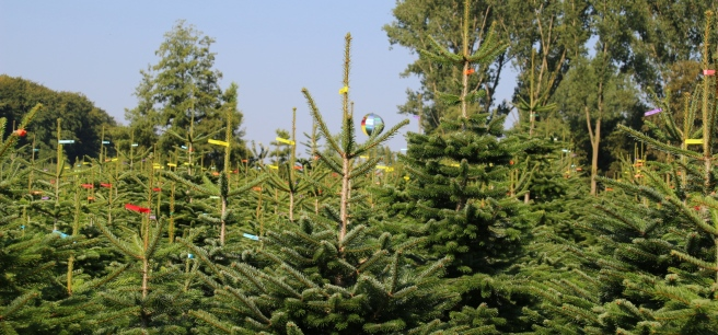 Weihnachtsbäume, kommende