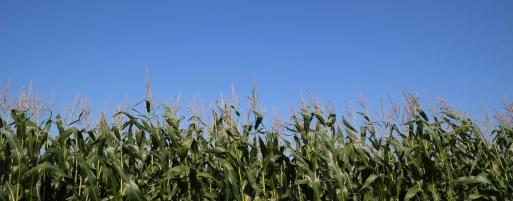 Unterwegs immer wieder Maisfelder, mannshoch