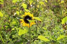 Es geht nur noch den Burenkamp hinunter. Mitten drin am Rand eine wunderbare Wildblumenwiese, zur Zeit mit Sonnenblumen ...