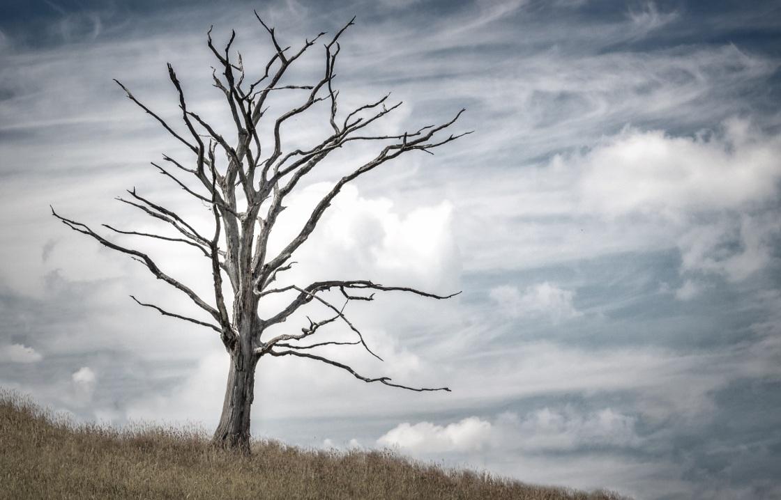 Vertrockneter Baum auf dürrer Wiese